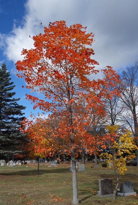 Cemetery Maple-1.jpg
