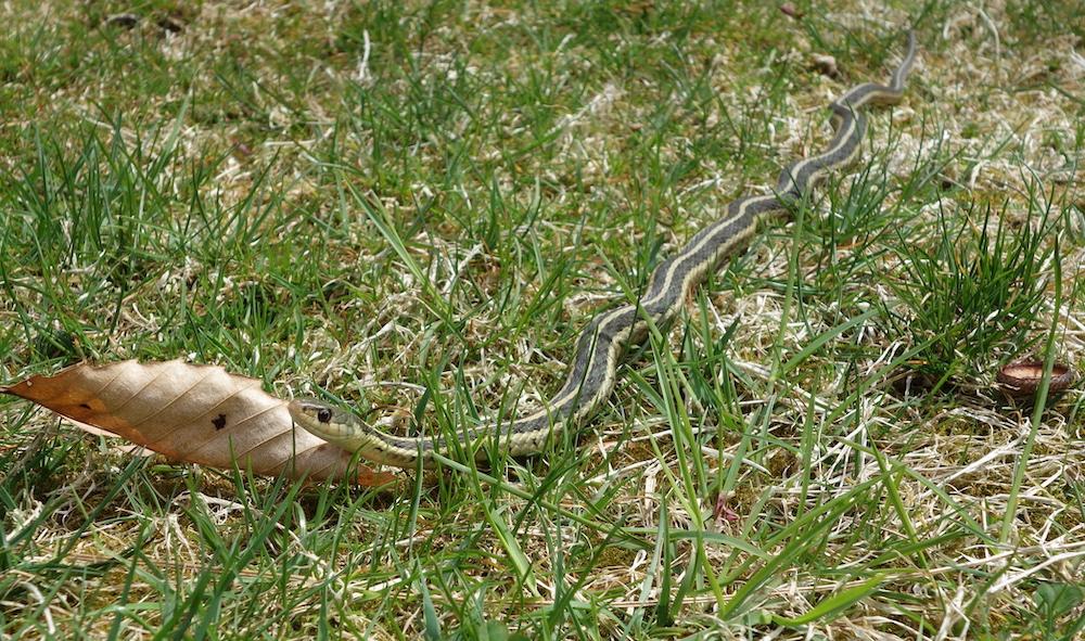 garter snake in the grass alone
