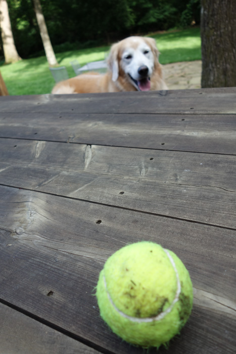 dog looking at tennis ball on table