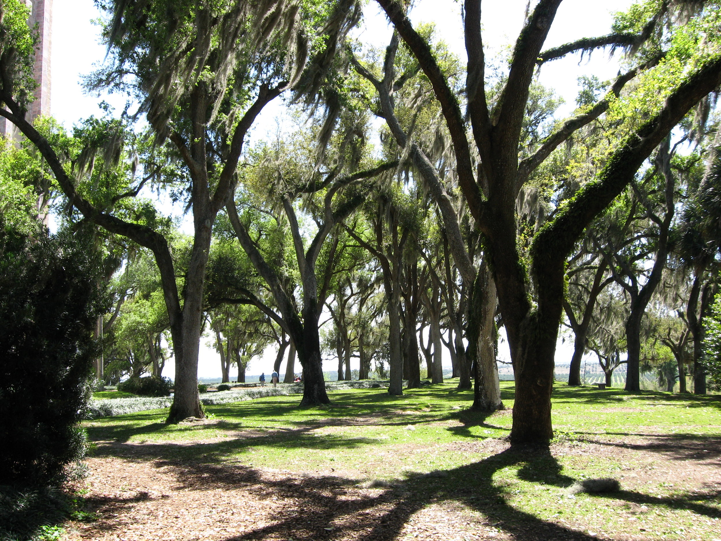 Live Oak trees at Bok Tower, Lake Wales FL