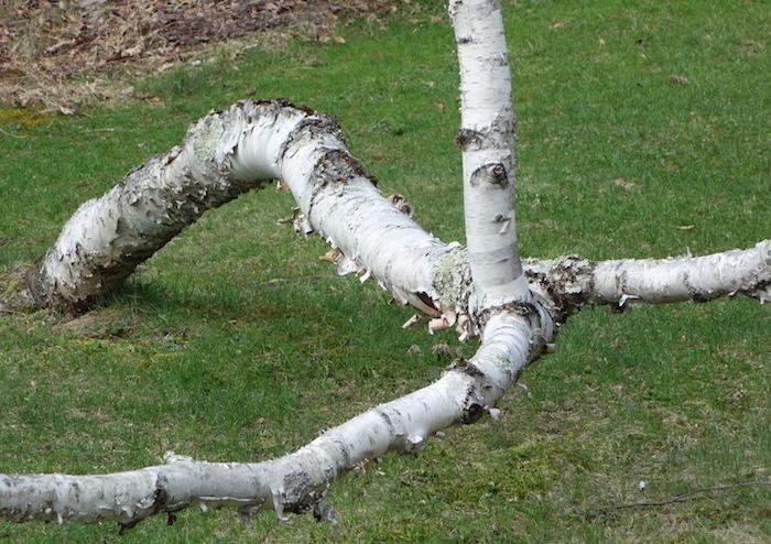 sprawling birch tree on lawn