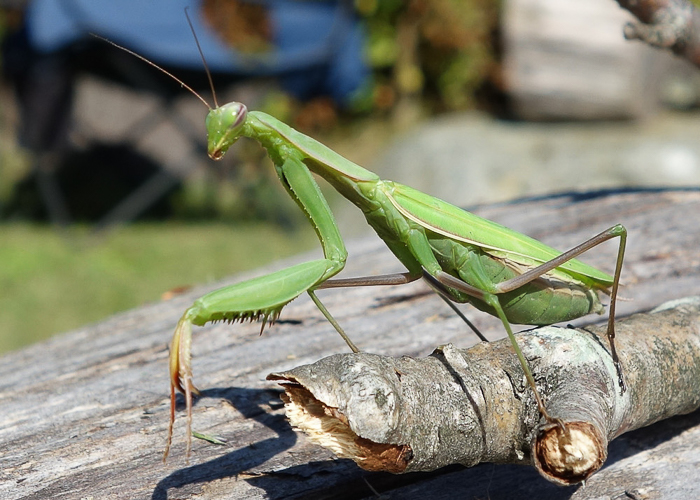 Praying Mantis