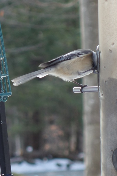 chickadee at bird feeder