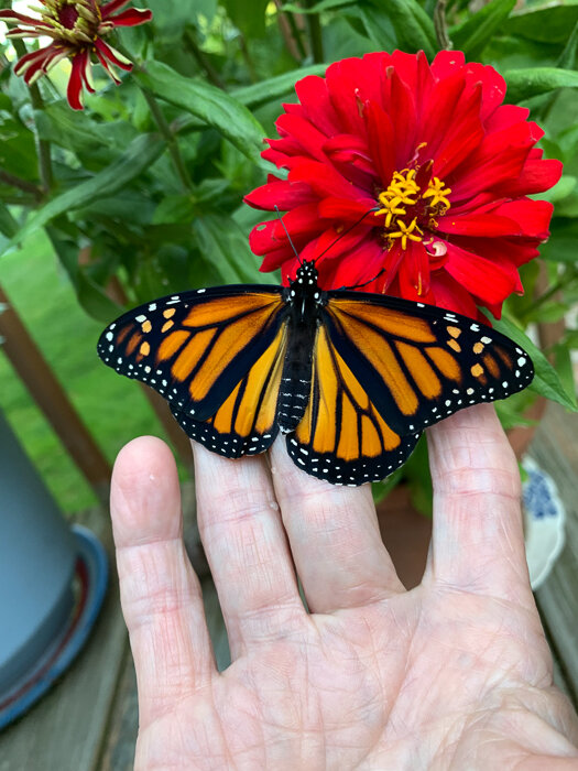 Female Monarch early moments