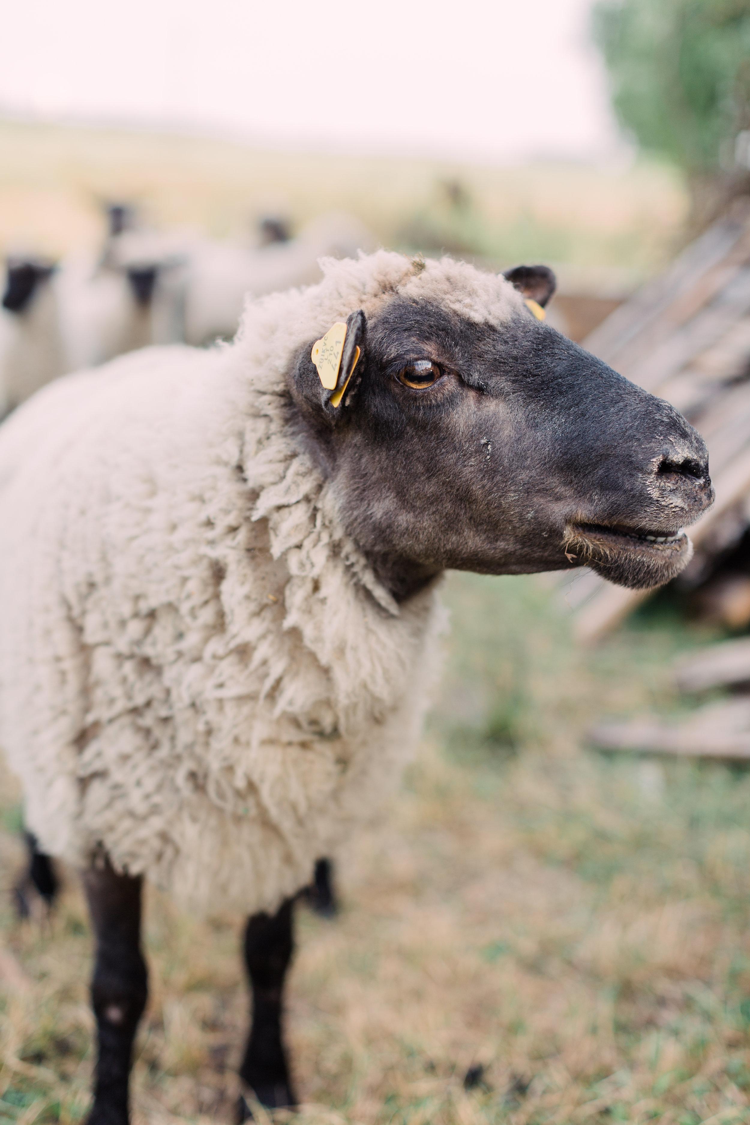 Sheep - Farm Editorial Photo Session_Fine Art Photography_Lithuania_London_UK_2018_Joana Senkute Photography