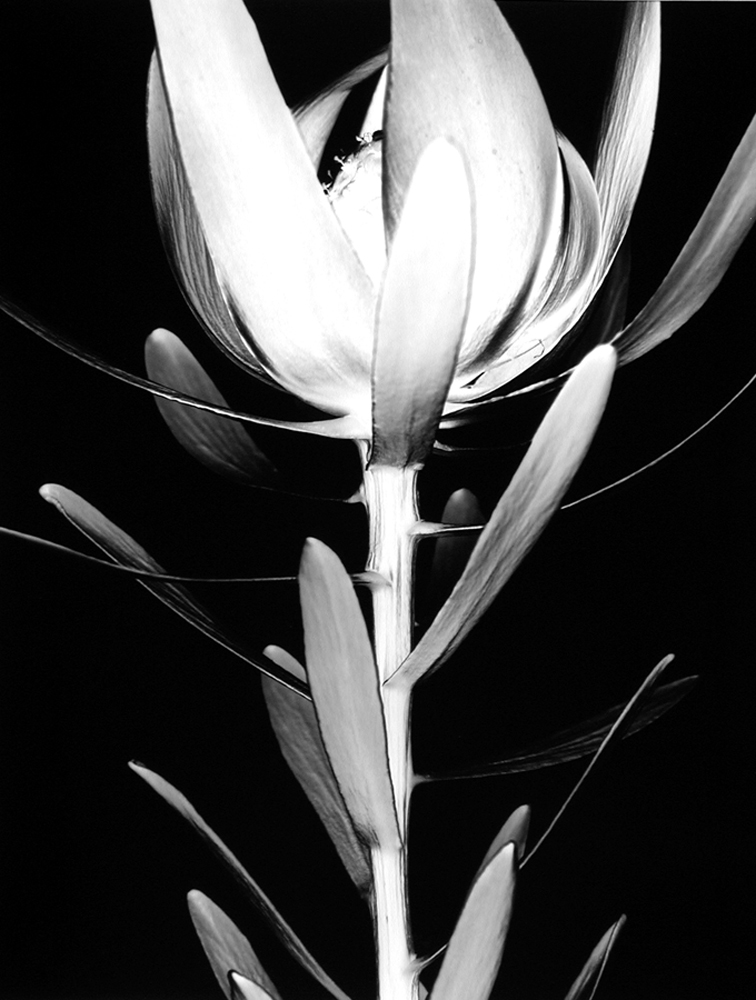 Protea (Number 5), 1998