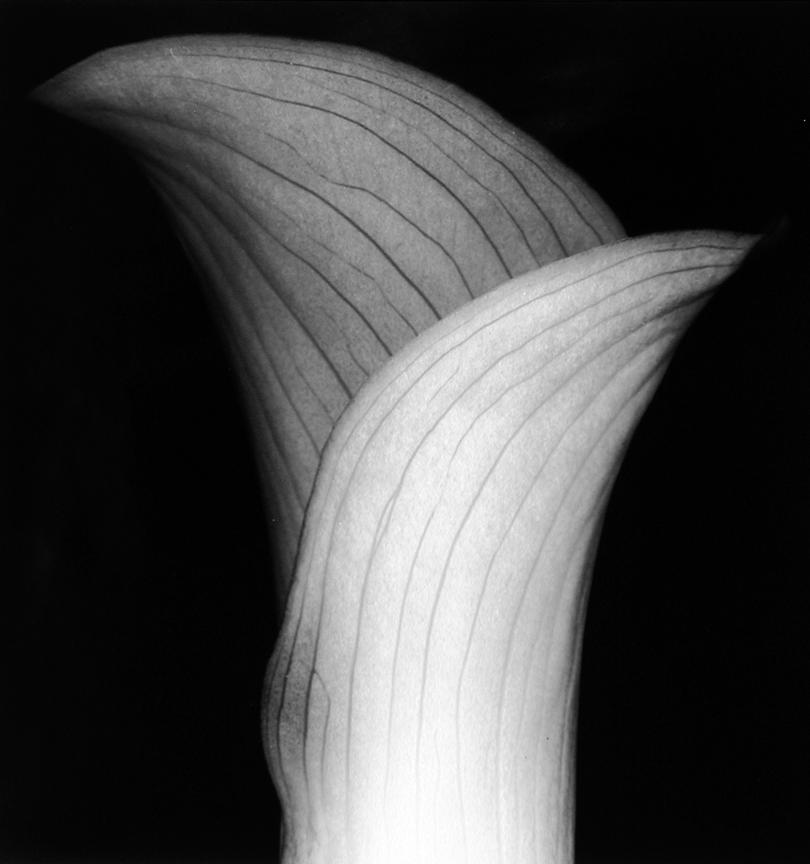Flower (Number 19), 1996