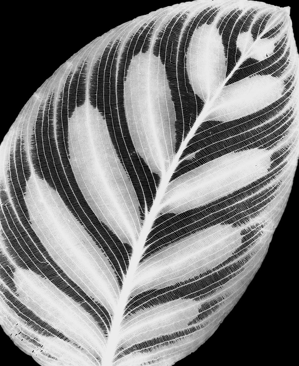 Peacock Plant, 1992