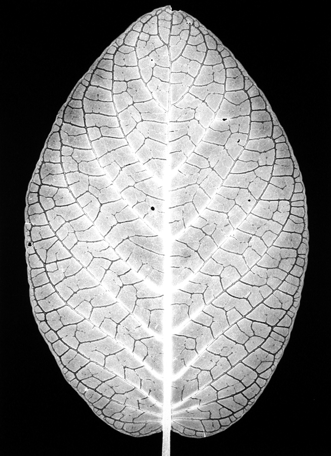 Silver Nerve Plant, 1990