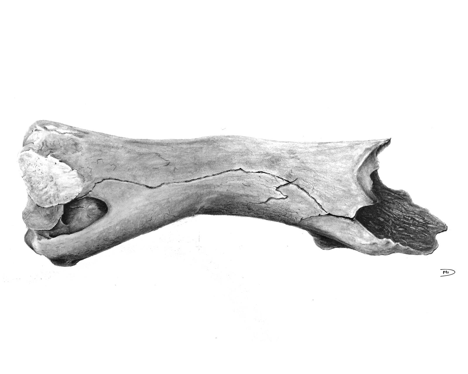 Misha Donohoe,  Bison priscus , 2017. Graphite on Strathmore Bristol Paper. 70 x 30 cm.