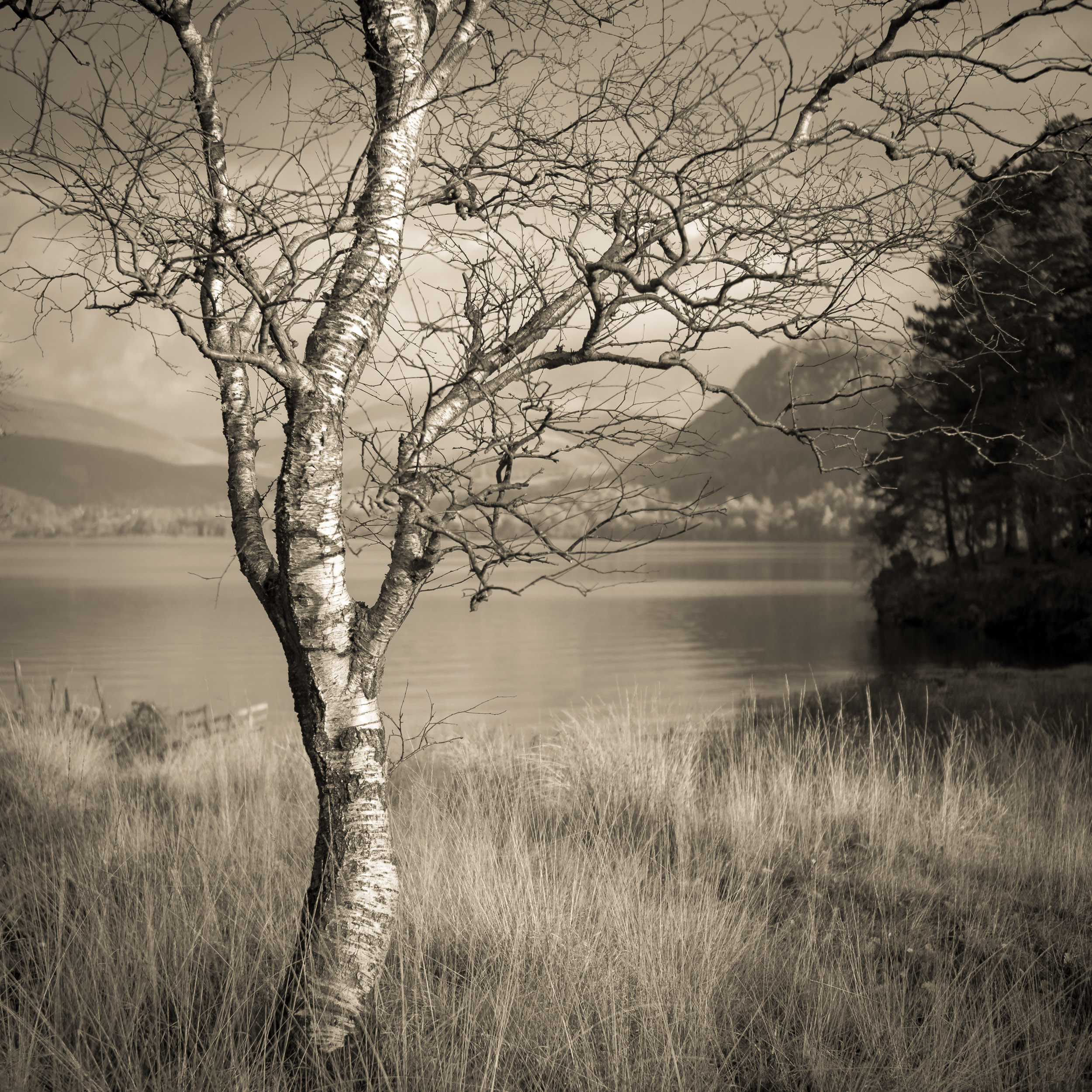 Silver Birch, Derwent Water, The Lake District, The United Kingdom. Photography Copyright Len Metcalf 2017
