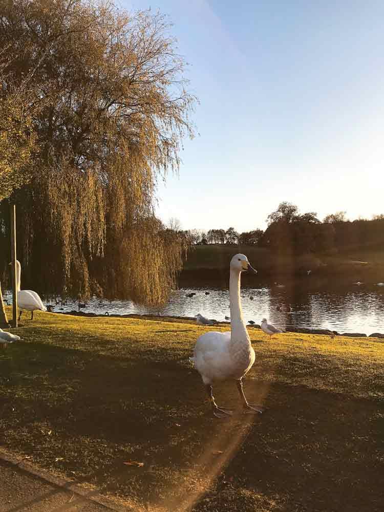 leeds-castle-swan.jpg