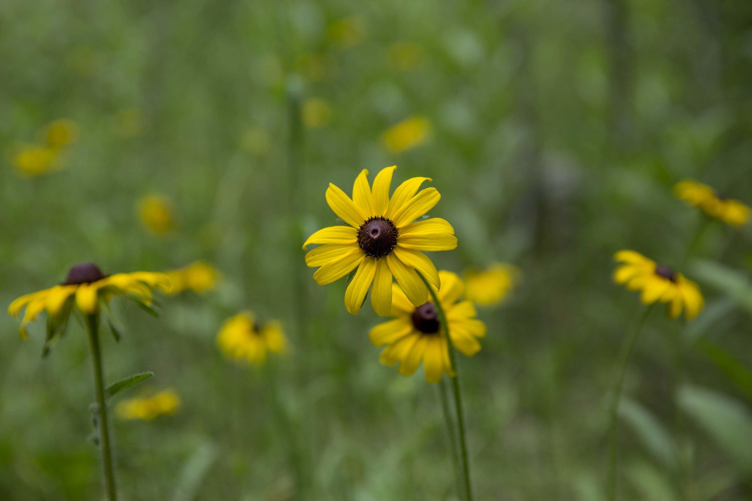 colorado wild flower