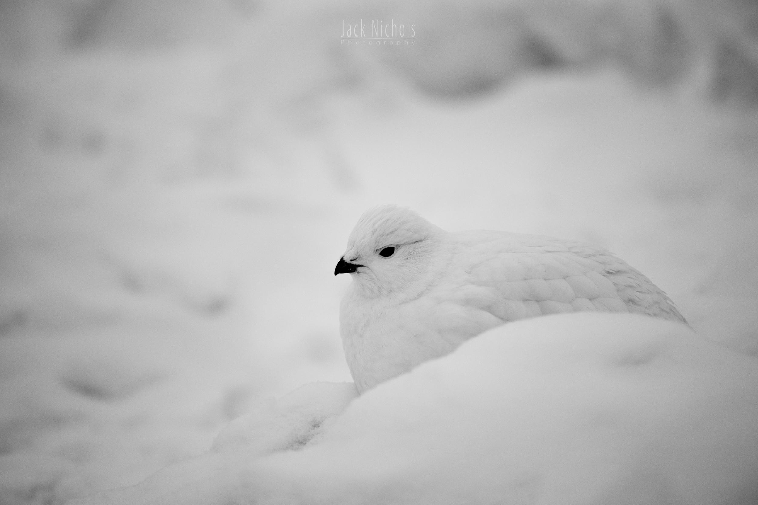 Ptarmigan in a Snowstorm