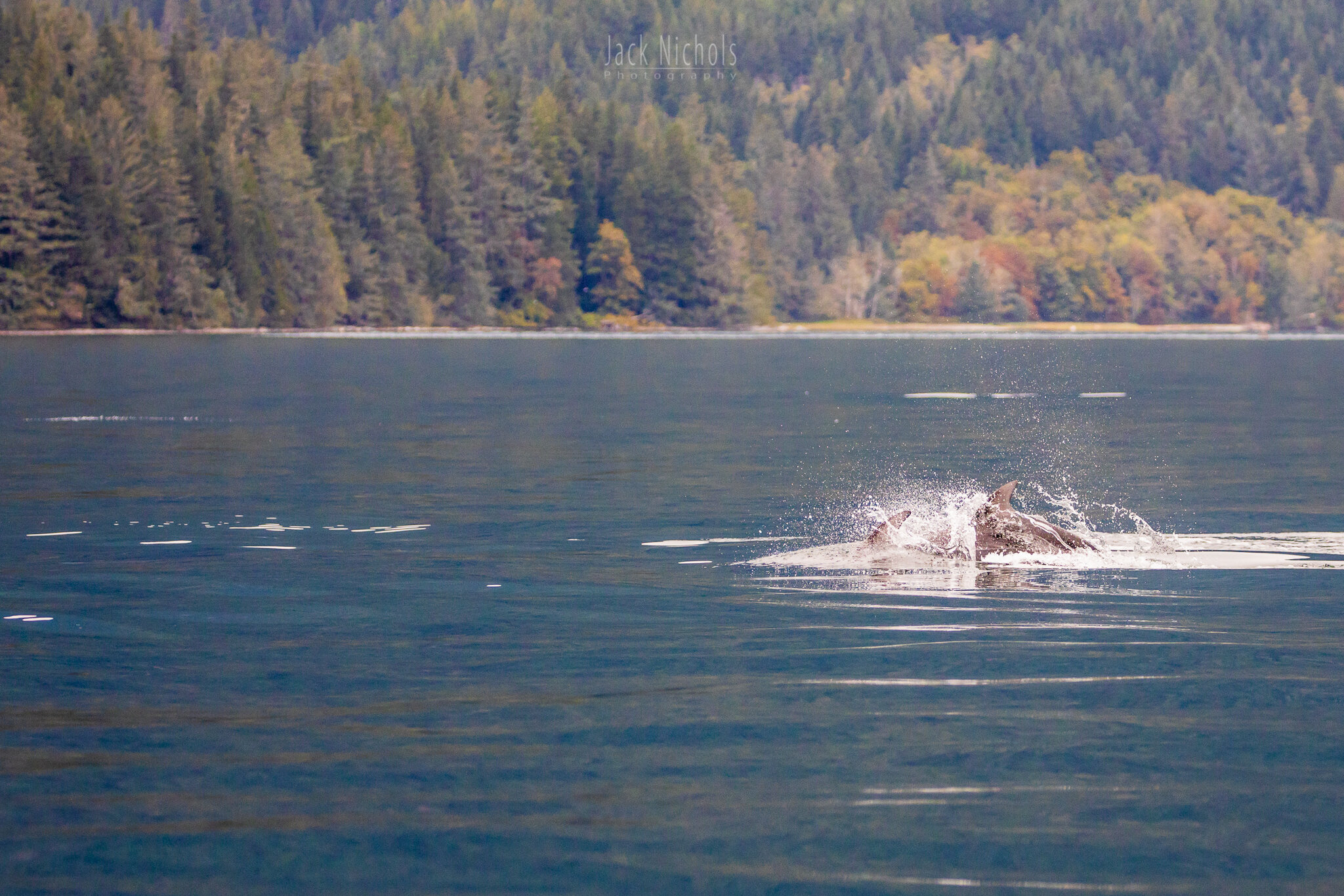 Campbell River, Water - Pod of Pacific Whitesided Dolphins playing in the waves-20190907.jpg