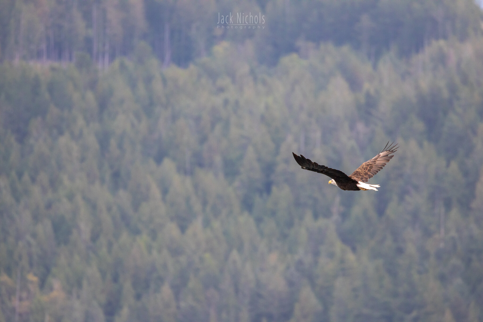 Campbell River, Water - Bald eagle flying in front of a distant forested hillside-20190907.jpg