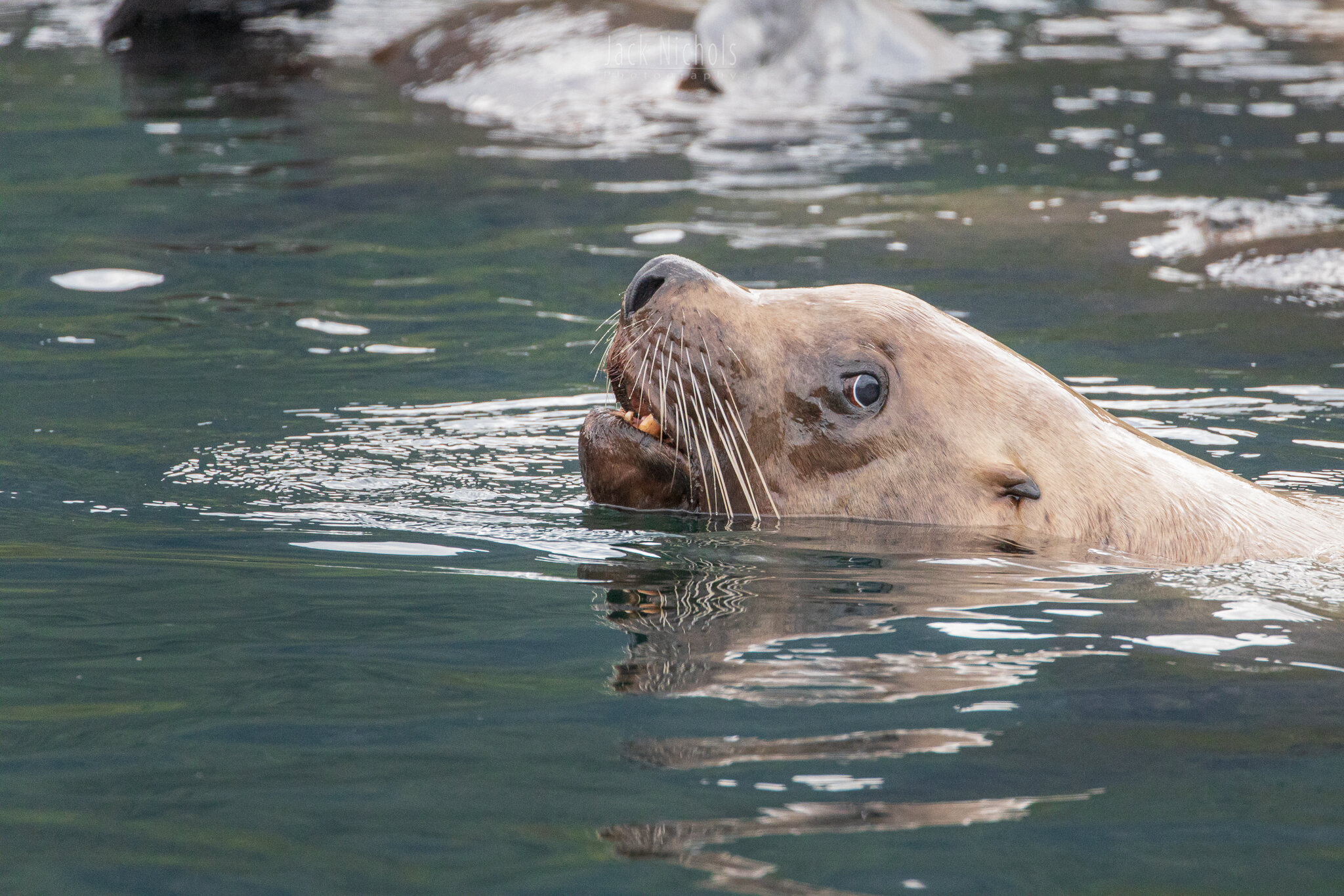 Campbell River, Water - Sea lion peeking head above water and looking at camera-20190907.jpg