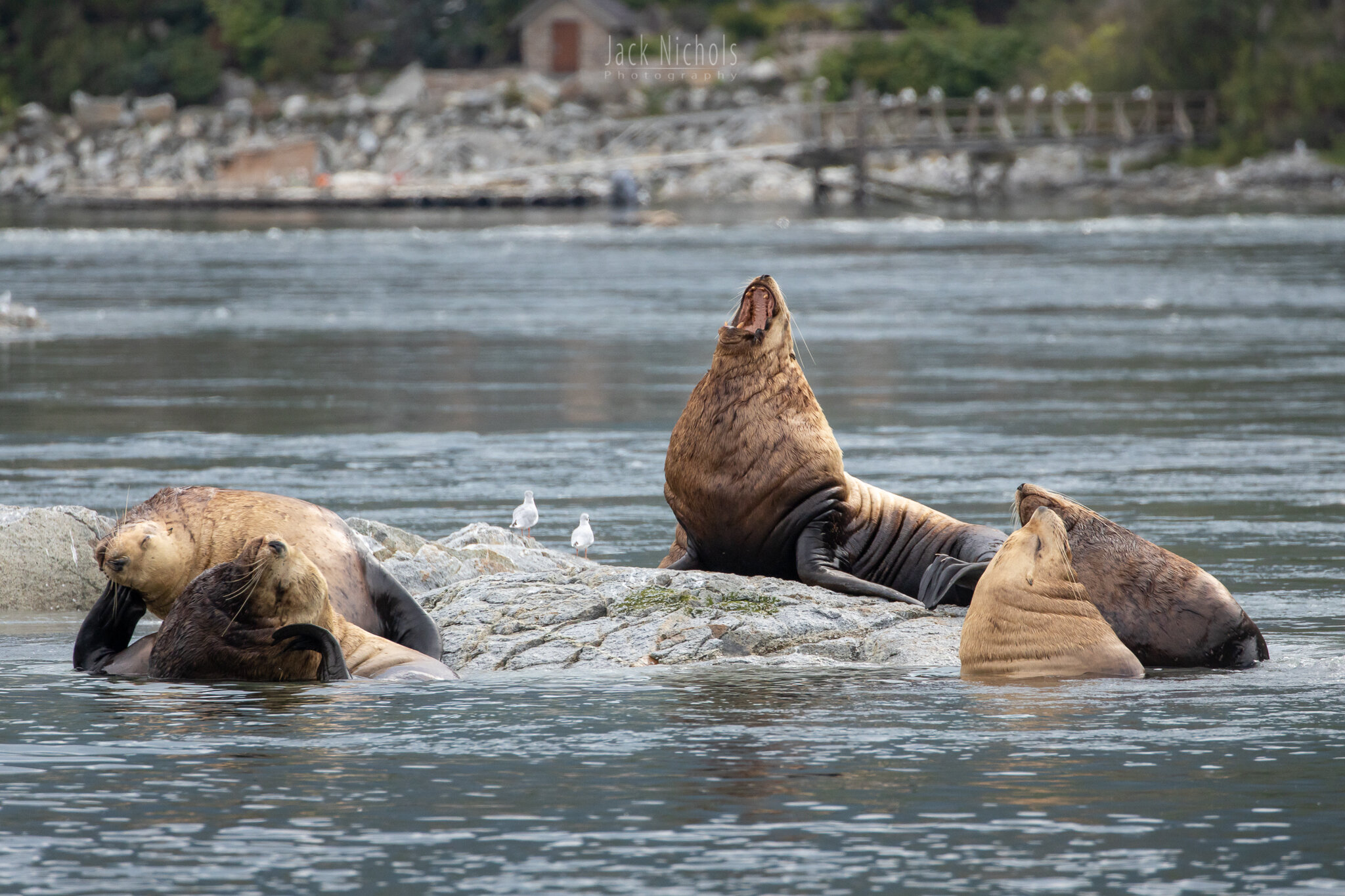 Campbell River, Water - Group of large sea lions on rocks in front of Sonora Resort-20190907.jpg