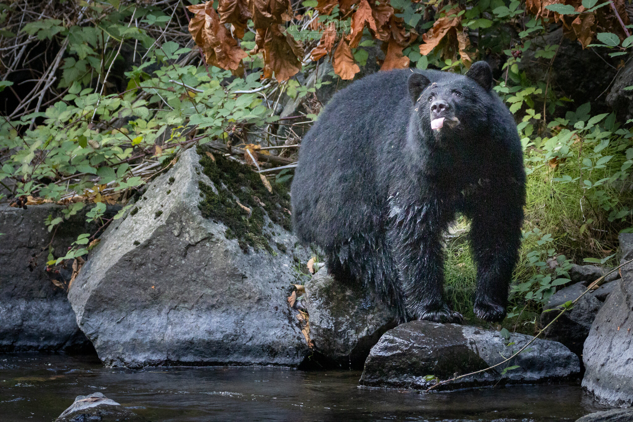 Campbell River, Quinsam - Black bear on rock sticking tongue out-20190907.jpg