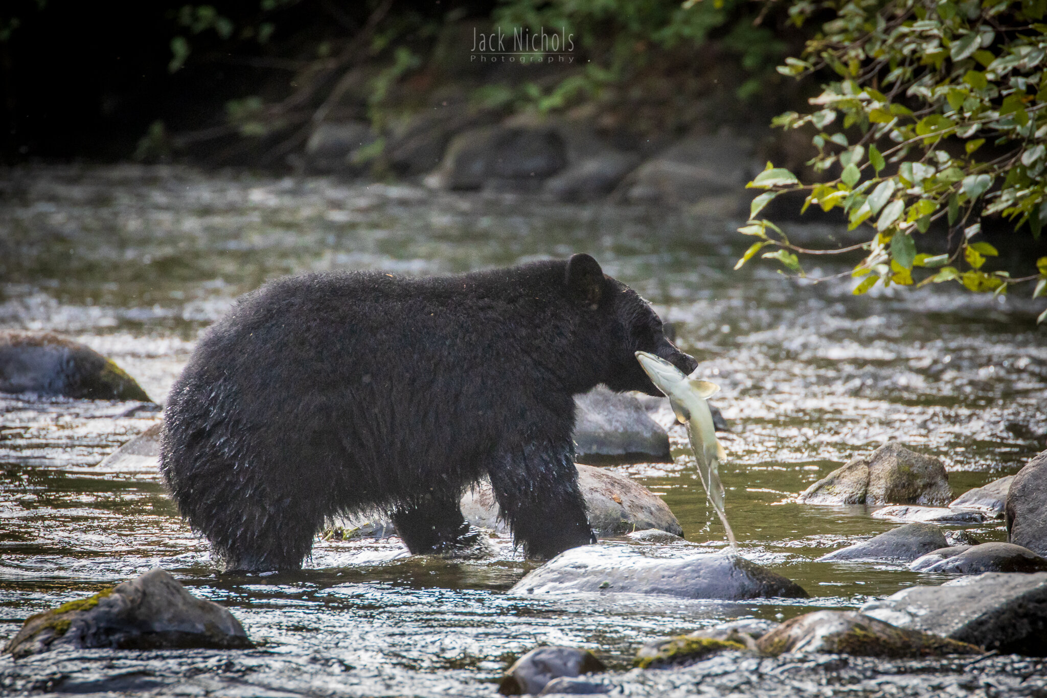 Campbell River, Quinsam - Black bear pulling salmon from river-20190907.jpg