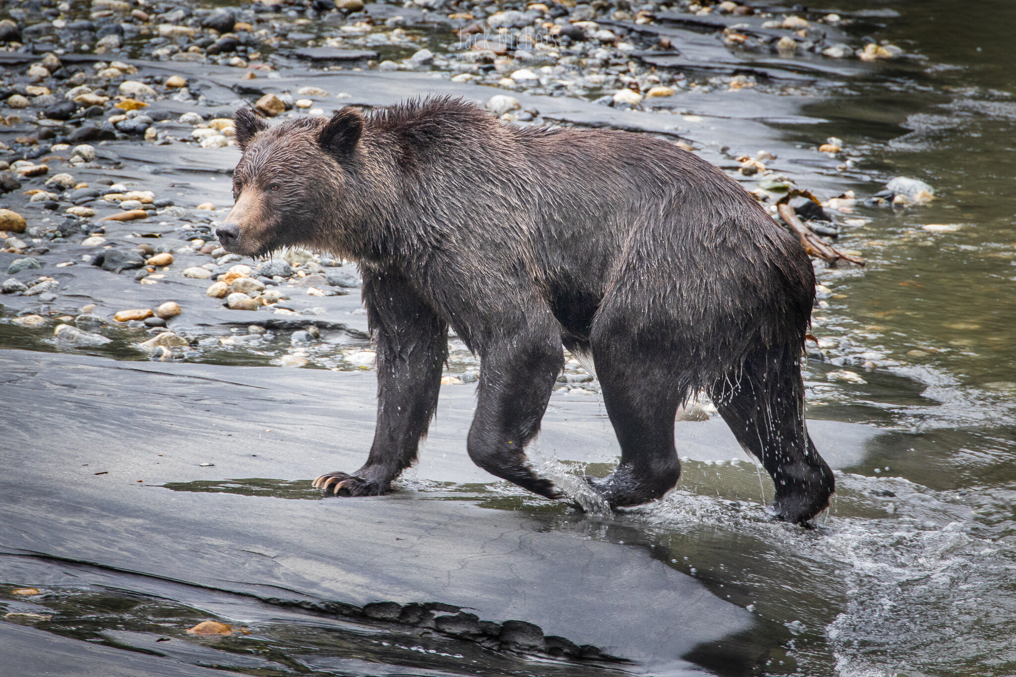 Campbell River, Toba Inlet - Grizzly bear walking on beach after exiting water-20190908.jpg