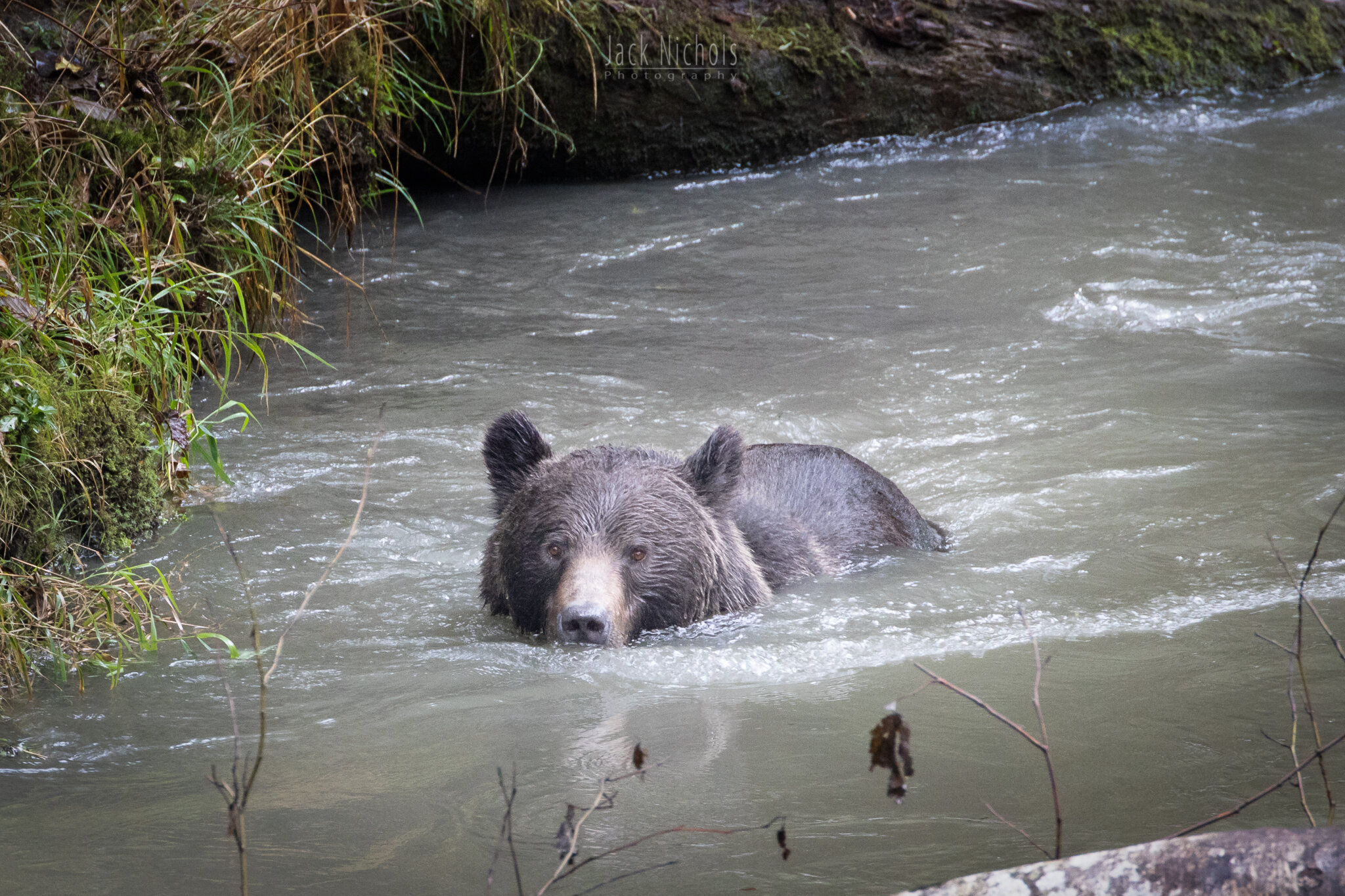 Campbell River, Toba Inlet - Grizzly bear swimming towards camera in the river-20190908.jpg