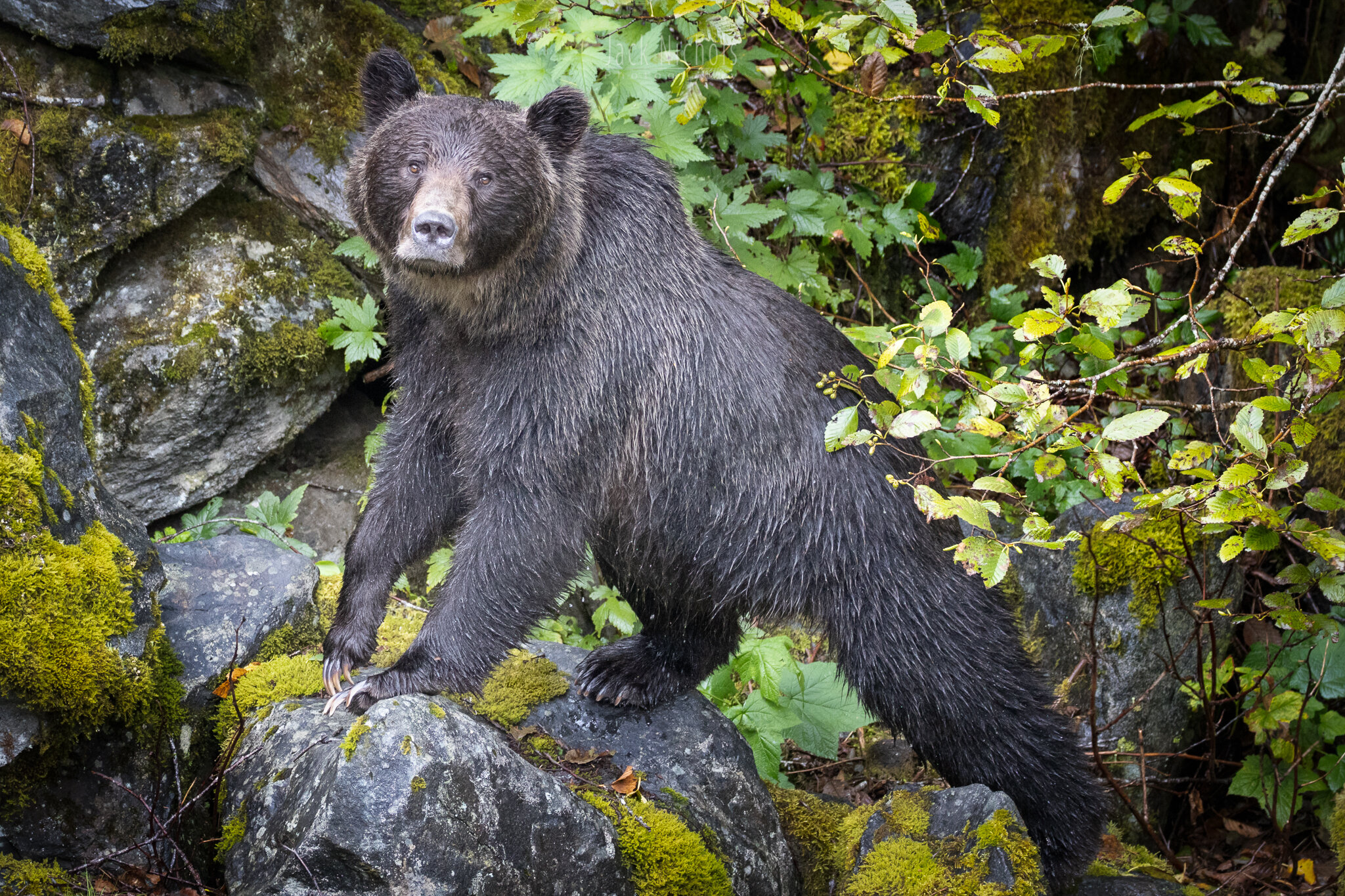 Campbell River, Toba Inlet - Grizzly bear looking at camera on rocks-20190908.jpg