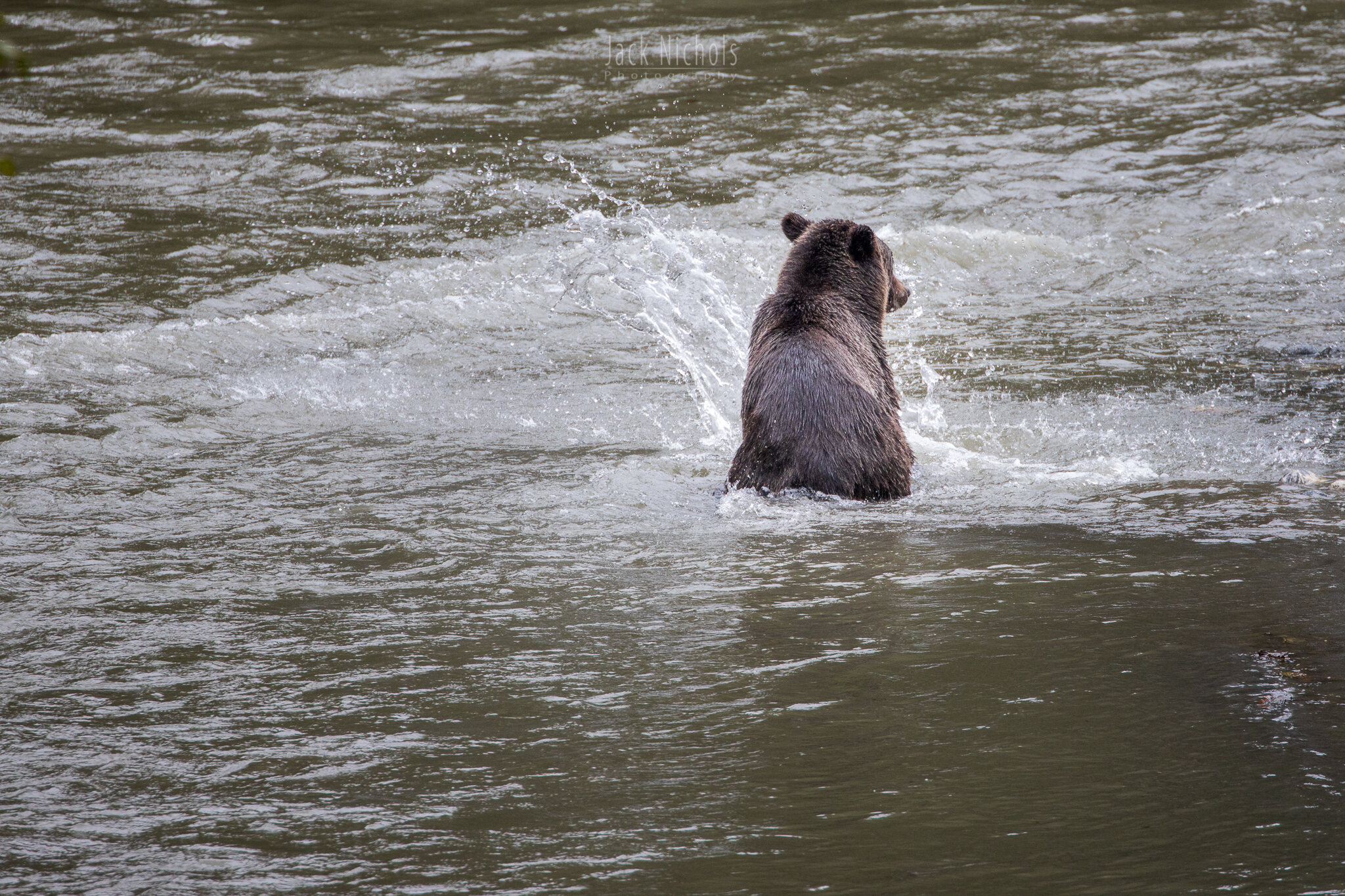 Campbell River, Toba Inlet - Grizzly bear playing in the river, facing away from camera-20190908.jpg
