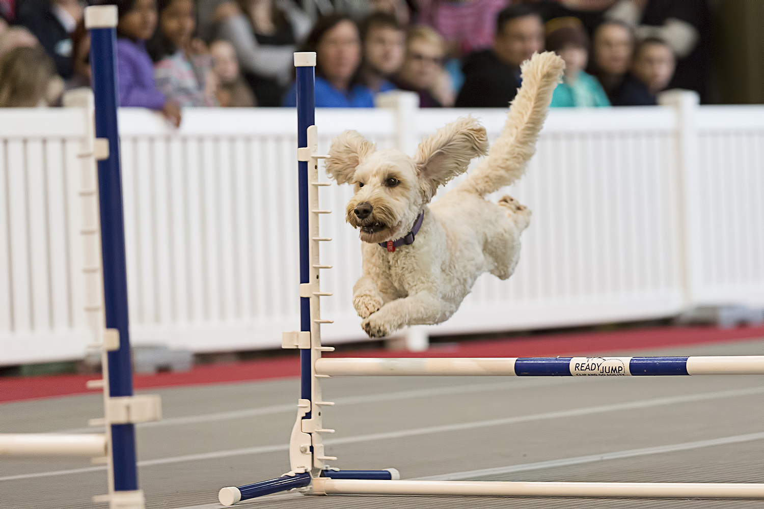 Australia's leading flygility dogs in action!