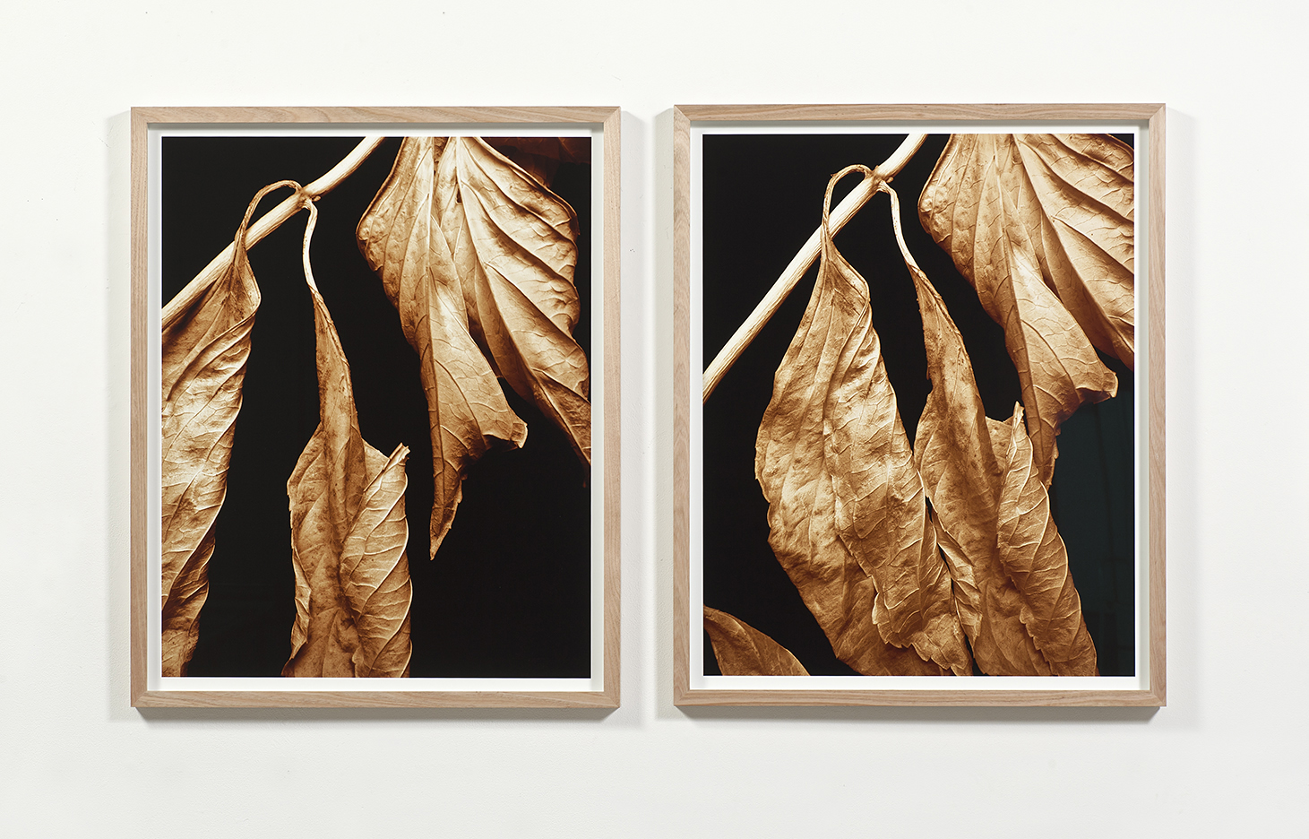 Touching The Earth    Shifted Vision: Leaves Die and Are Reborn 1.1 & 1.2  2017 gallery installation view 111.5cm x 196cm