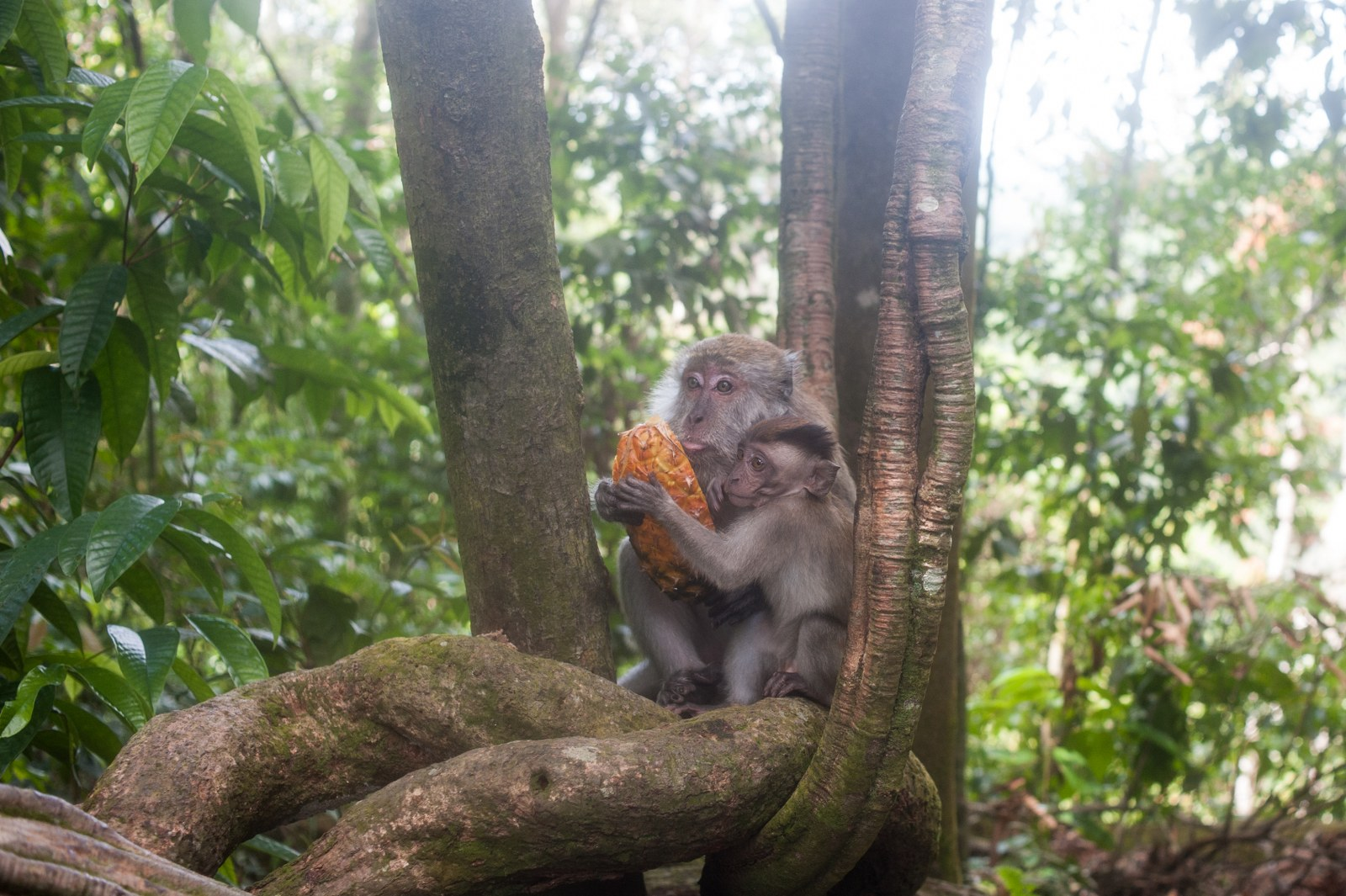 Of course, no jungle is complete without the common long-tailed macaques. Mother and child seen here sharing remains of a pineapple.