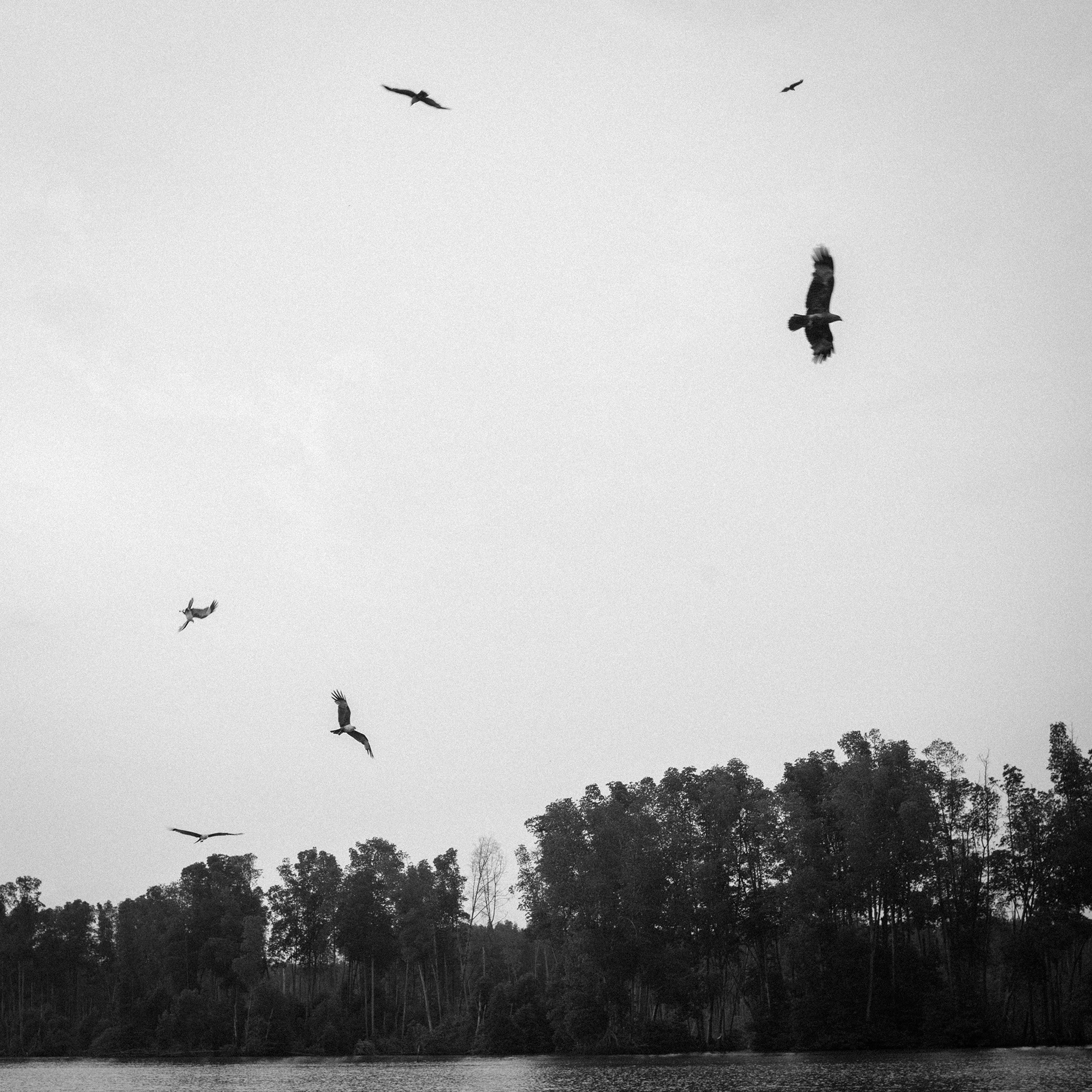 Semi-wild kites hovering above, waiting for food.