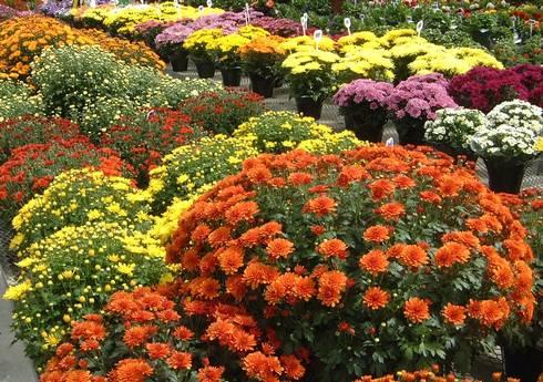 Chrysanthemums_in_flower.JPG
