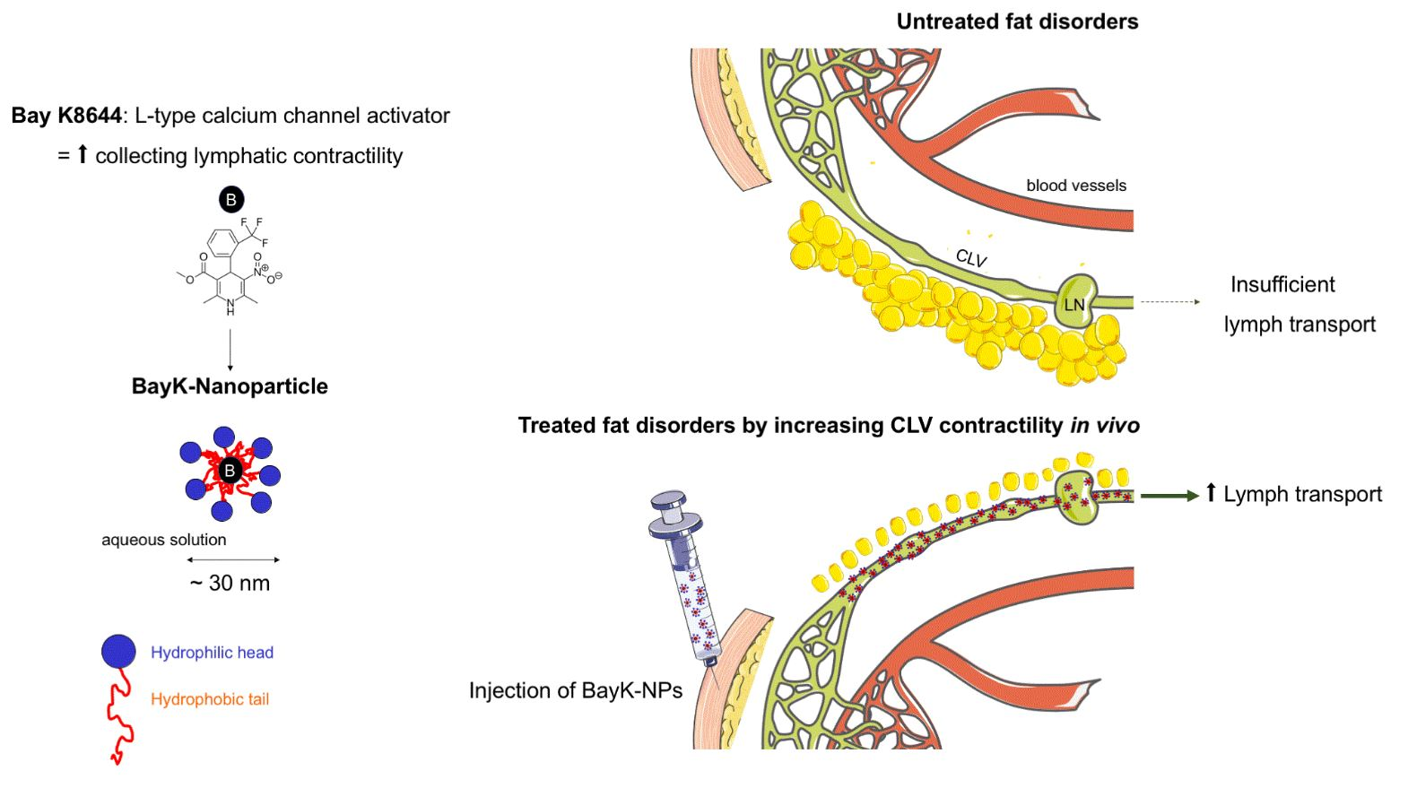 Working hypothesis: Targeting contractility of collecting lymphatic vessels  in vivo  by injecting nanoparticles loaded with L-type calcium channel activator will improve local lymph drainage and control adipose tissue deposition. BayK, L-type calcium channel activator; CLV, collecting lymphatic vessels; LN, lymph node; NP, nanoparticle.
