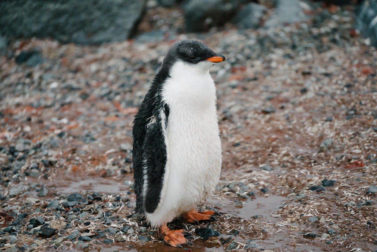 I adore this penguin chick, how I would SO love to snuggle it.