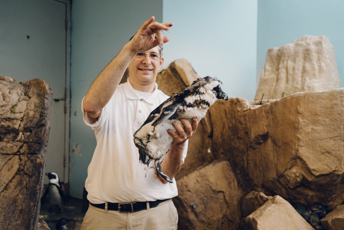 Our penguin expert Darwin showing us one of the birds who is molting his feathers.