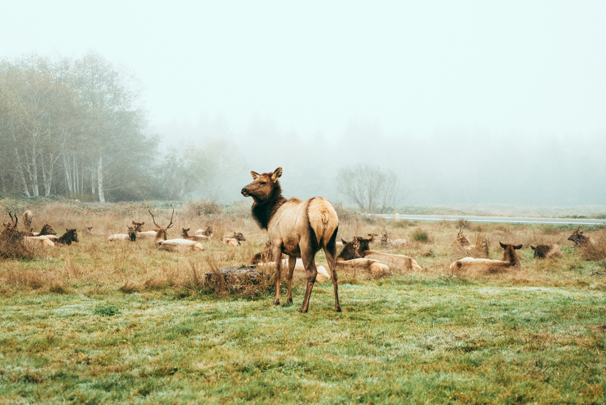 Elk are a very common sight along the Redwood Highway