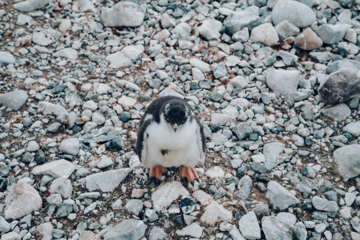 A fuzzy penguin chick comes to check me out