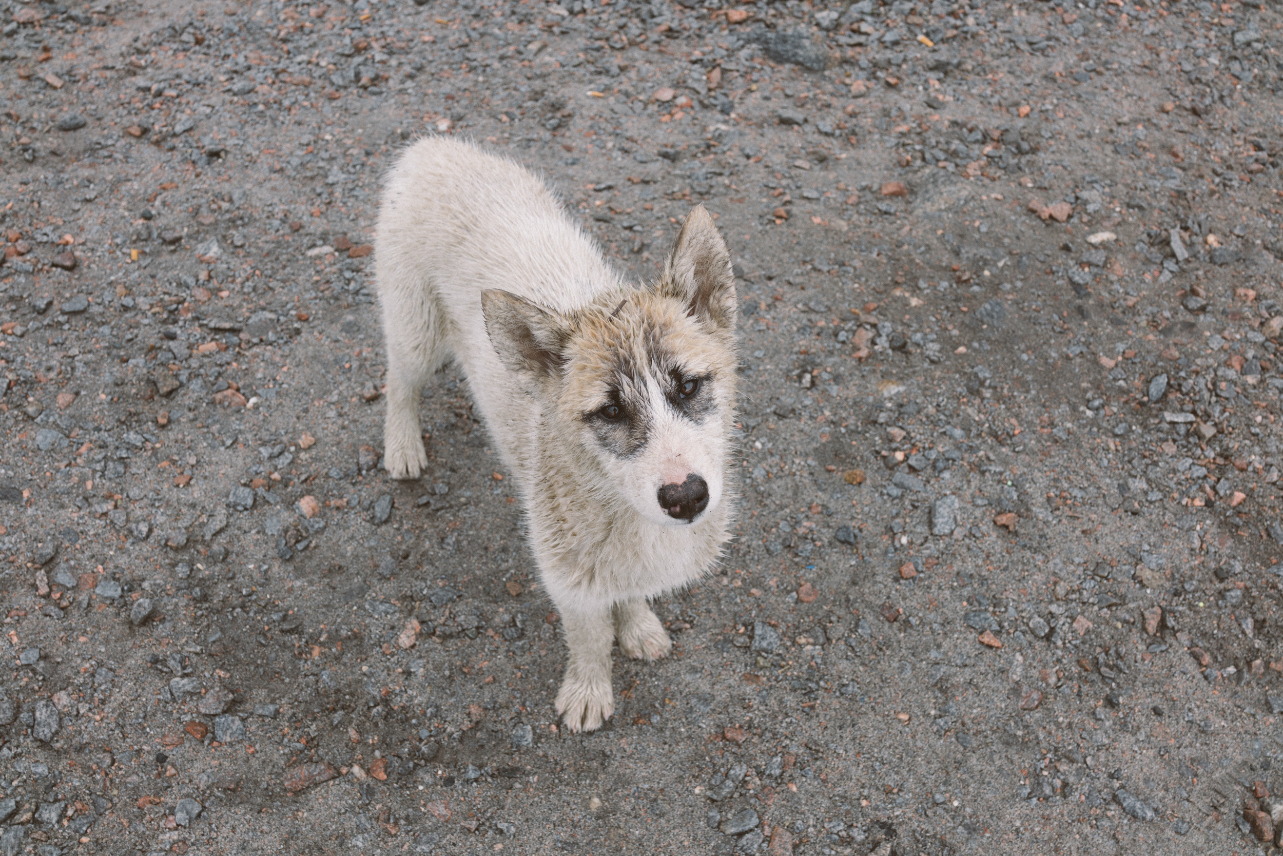 A very sweet sled dog pup. This friendly puppy and his litter-mate were outside our apartment so we broke the rules a little and gave them some pets. Adorable as they were, they smelled like rotten fish (sled dogs are fed fish scraps and seal meat).