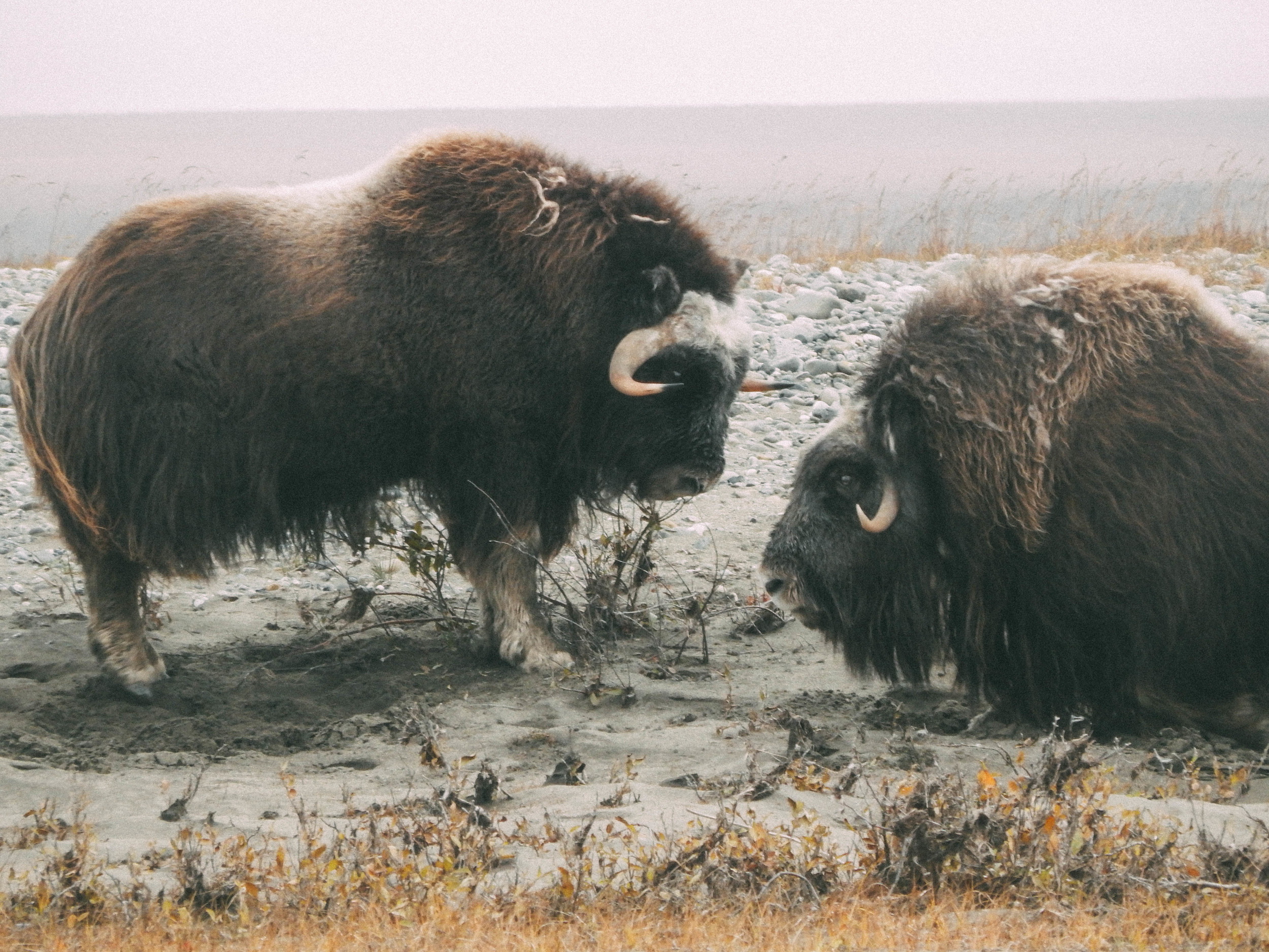 In the Arctic Slope of the Brookes Range, these musk oxen were seen along the Haul road during a family caribou hunt.