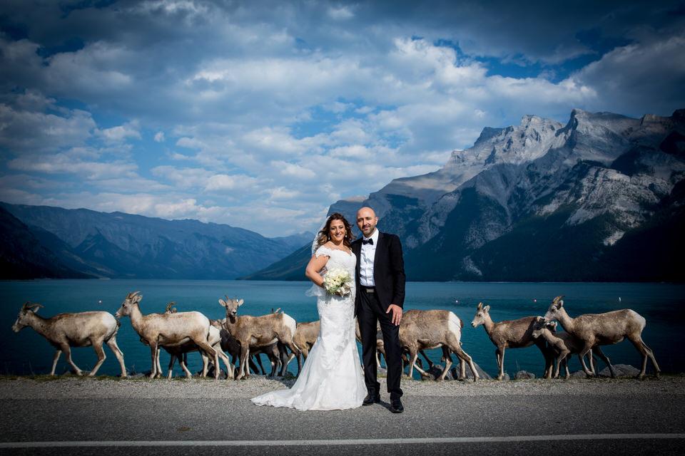 Lake Minnewanka Wedding. As we were taking wedding photos at the lake a herd of Mt Sheep came strolling through.