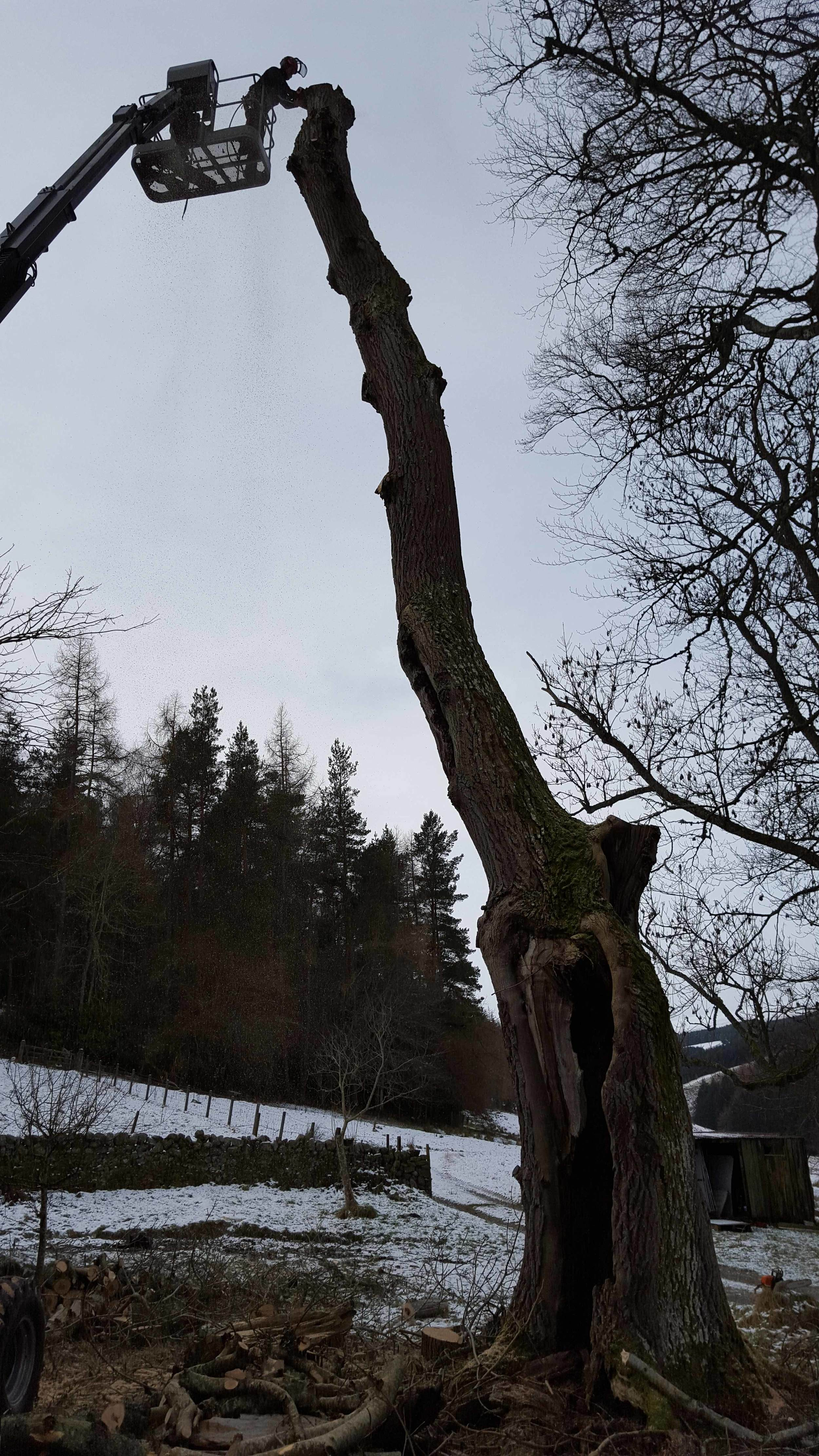 sectional felling of dangerous hollow ash with a cherry picker