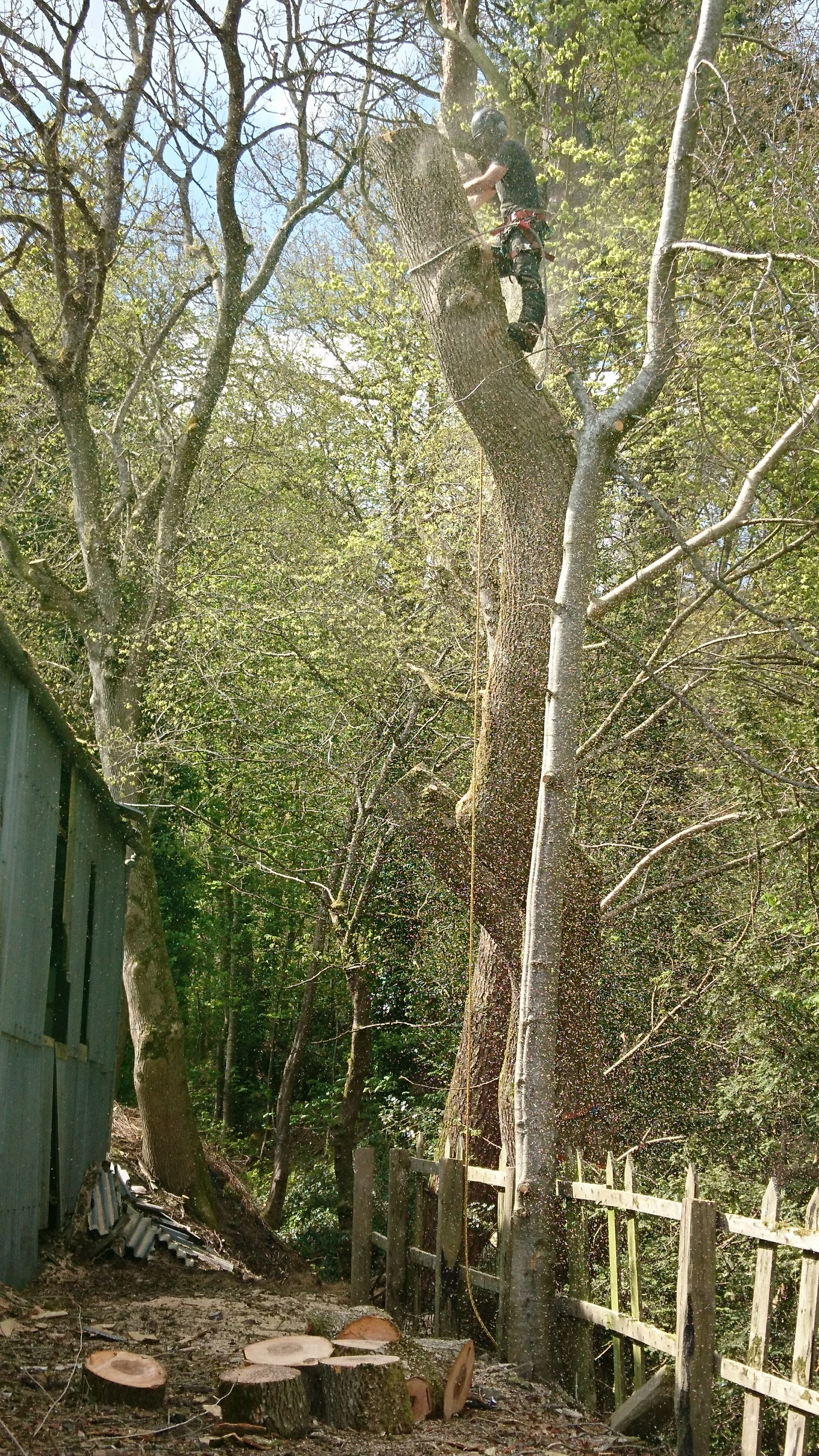 sectional felling of double stemmed ash-the entire canopy which was overhanging a hayshed was lowered in small sections