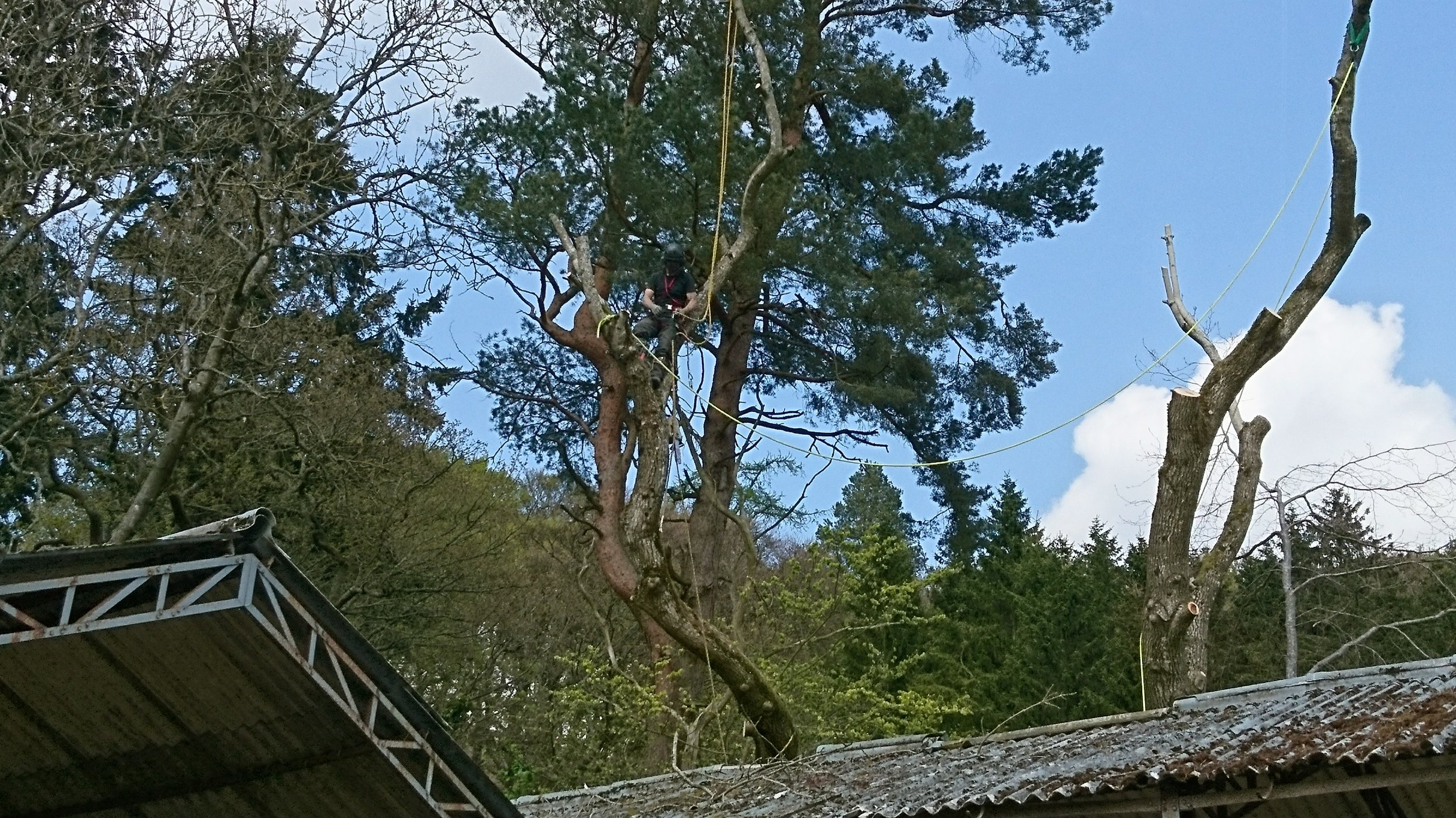 sPECIALIST RIGGING TECHNIQUES USED TO SAFELY REMOVE A LARGE ASH
