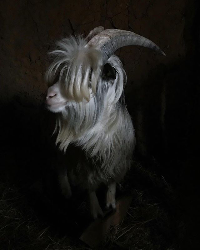 First he was shy, then we became friends 🖤 #goatsarefriends 🖤