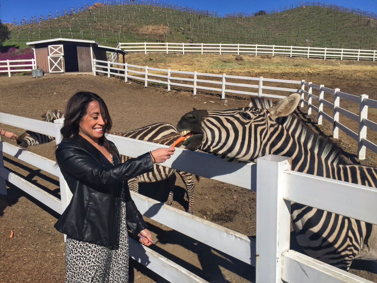 My experience with a zebra at Malibu Wine Safaris - hopefully it goes a little better than this in Africa ;)