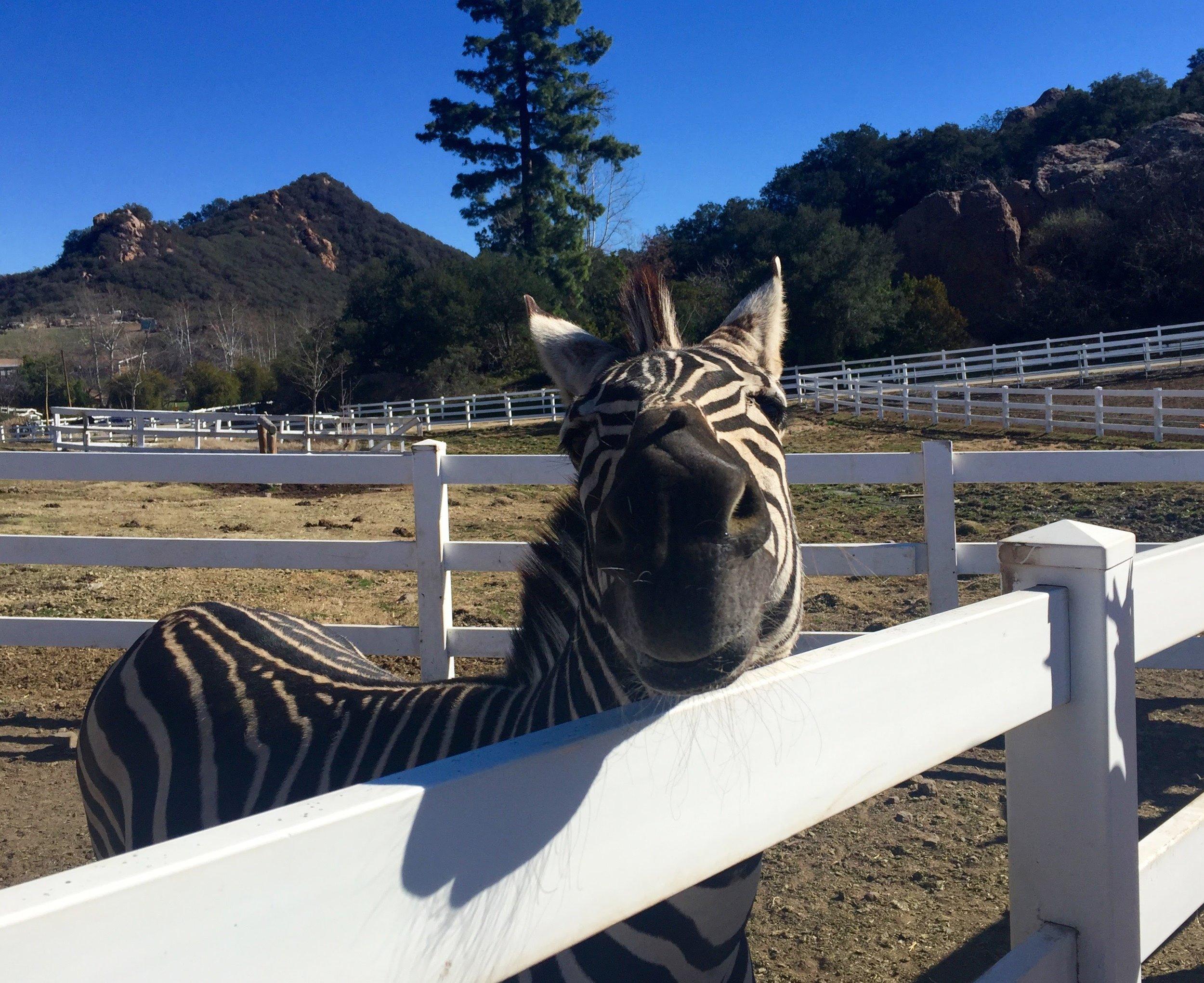 malibu-wines-zebra.jpg
