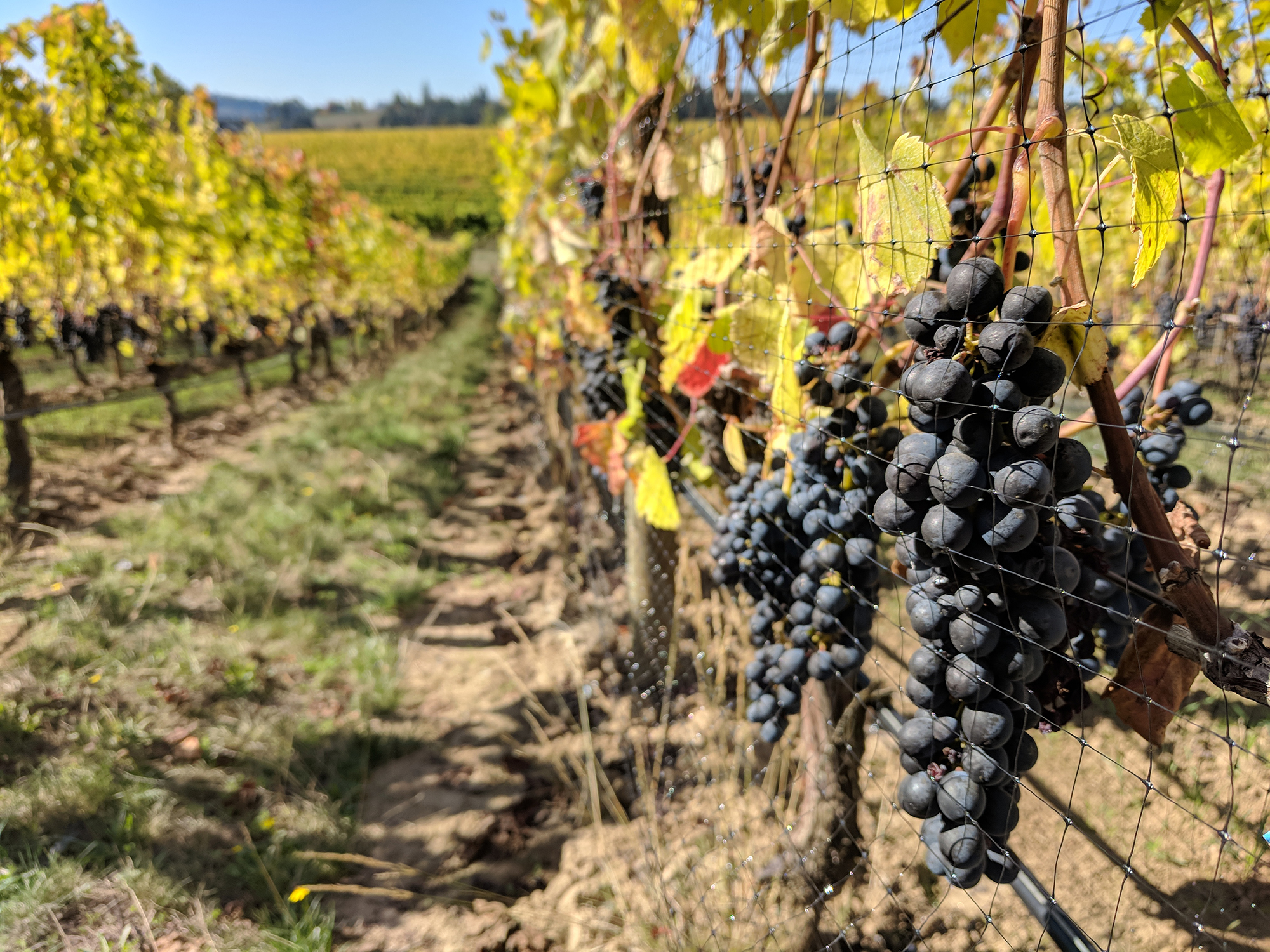syrah grapes on vine.jpg