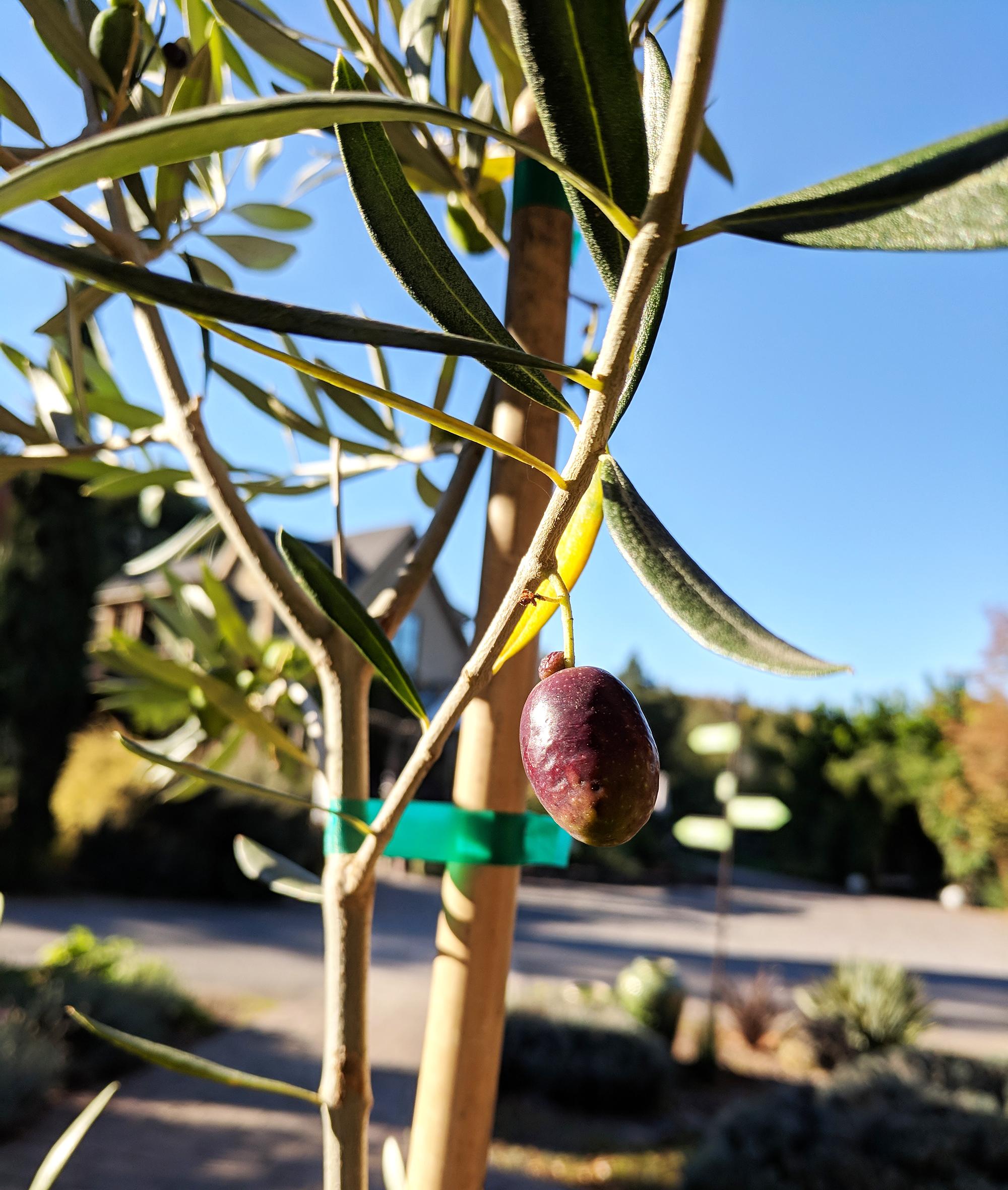 olive on tree.jpg