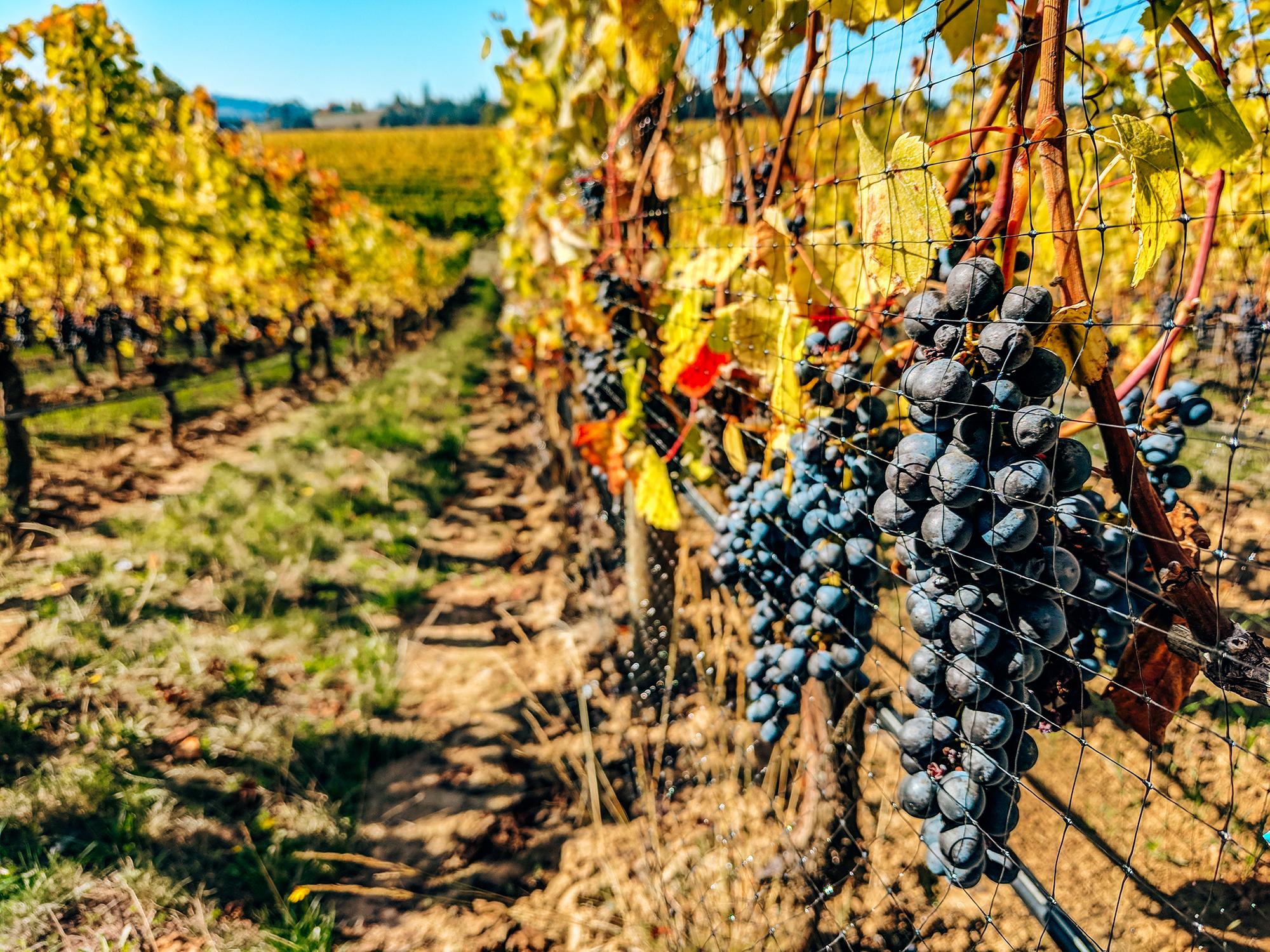 Adelsheim Vineyard vine grapes